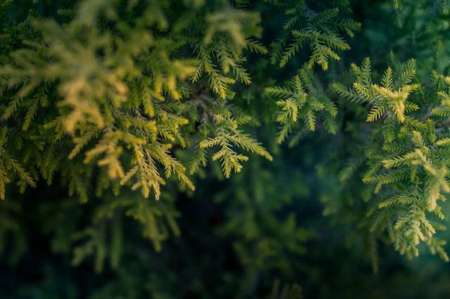 Wo kann man Zypressen kaufen?